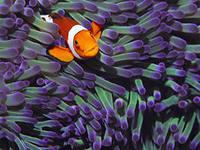 рибка-клоун1
