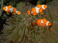 рибка-клоун5